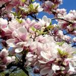 В Чернівцях магнолії цвітуть вдруге за рік